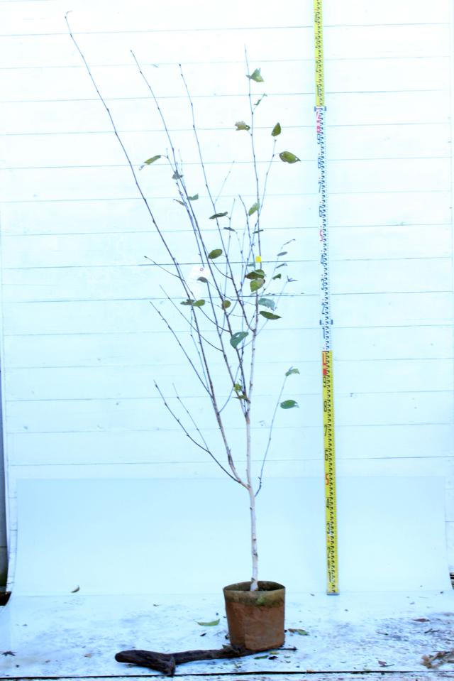 【植木市-088】  シラカバ ジャコモンティ 高さ約 2.0 m