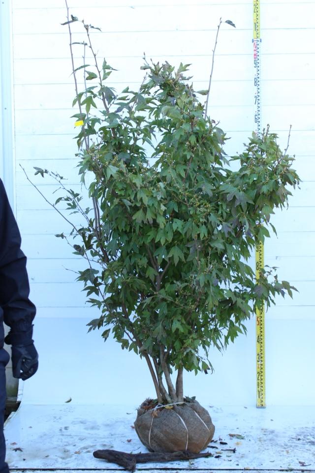 【植木市-089】  シロモジ 株立 高さ約 1.8 m 幅約 1.0m