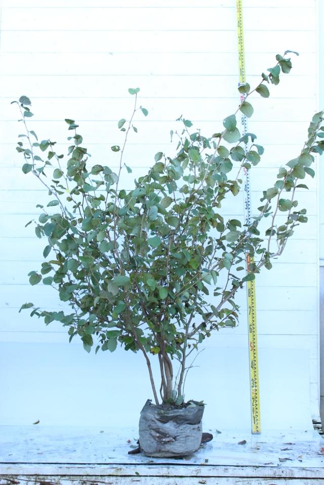 【植木市-090】  トサミズキ 高さ約 1.5 m 幅約 1.2 m