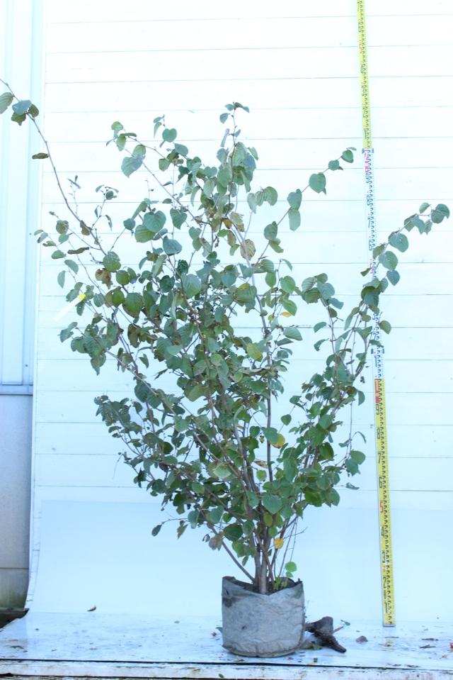 【植木市-091】  トサミズキ 高さ約 1.8 m 幅約 1.2 m