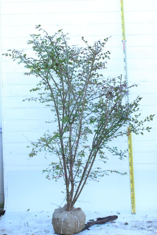 【植木市-092】  ニシキギ 高さ約 1.8 m 幅約 1.0 m