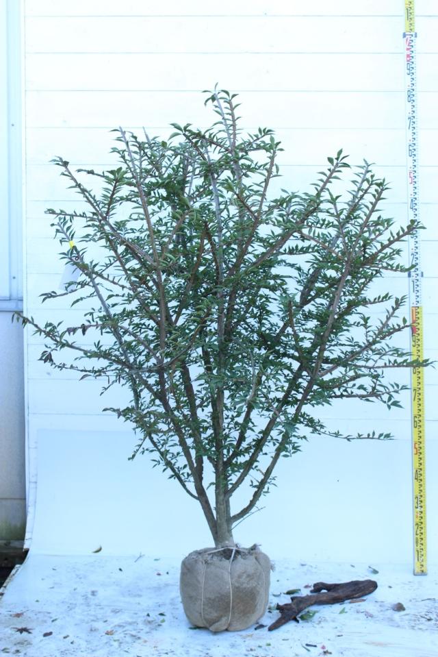 【植木市-093】  ニシキギ 高さ約 1.5 m 幅約 1.0 m