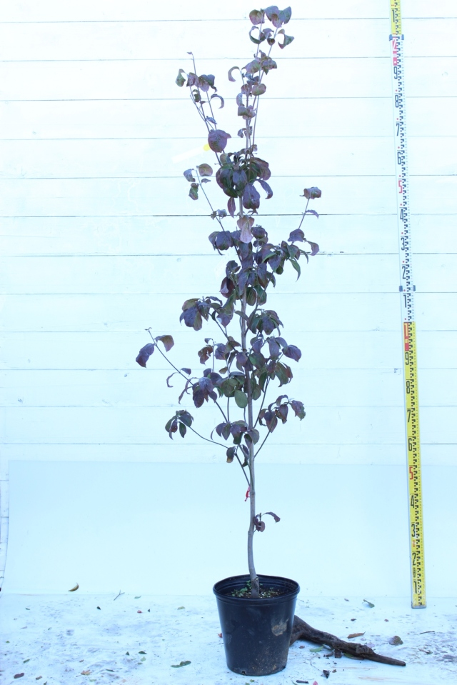 【植木市-094】 ハナミズキ 高さ約 1.8 m