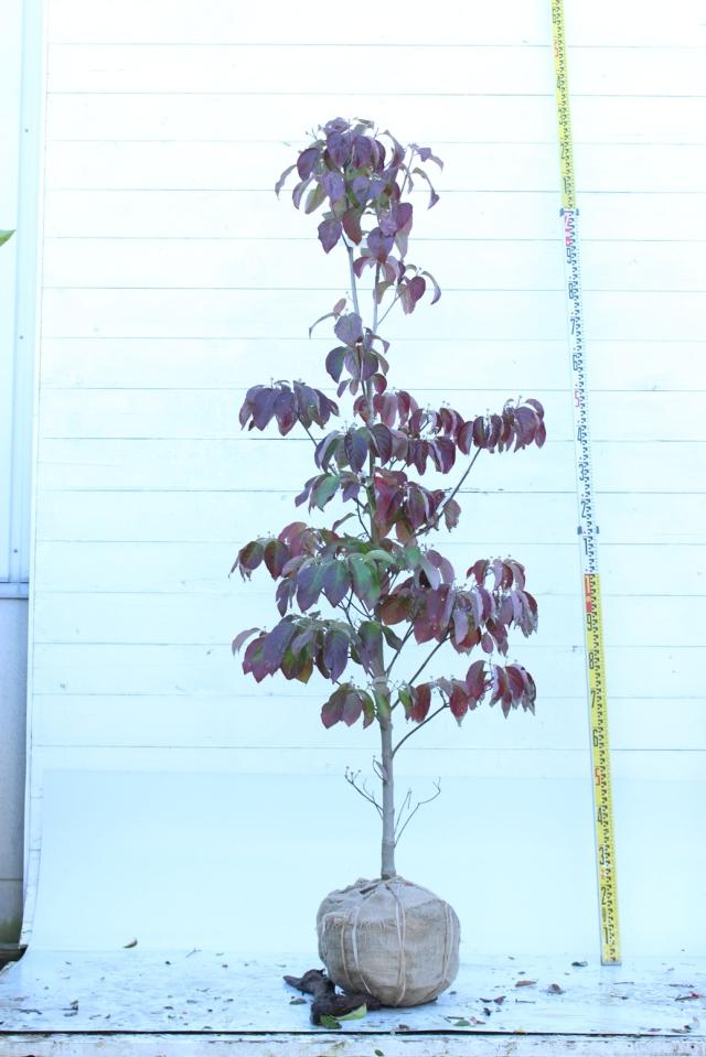 【植木市-097】 ハナミズキ 白 高さ約 2.0 m