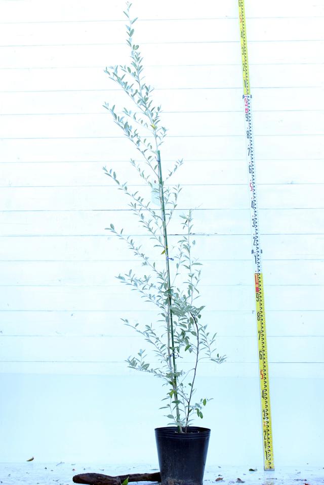 【植木市-099】  ロシアンオリーブ 高さ約 1.8 m