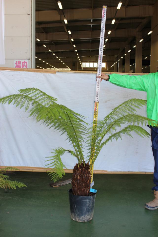 【植木市-100】 ディクソニア 高さ約 1.2m 幅約 0.8m