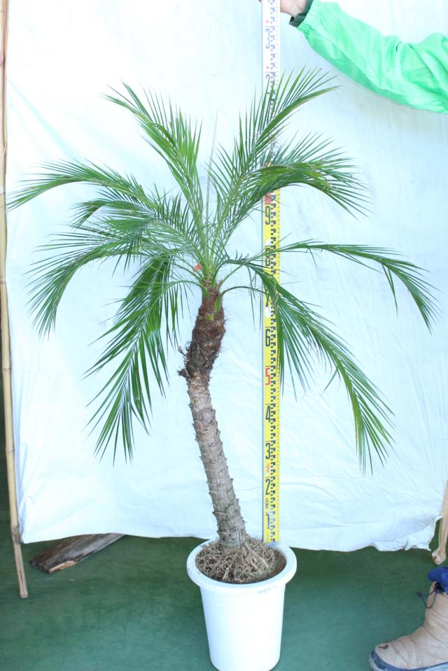 【植木市-101】 フェニックス ロベリニー 高さ約 1.5m