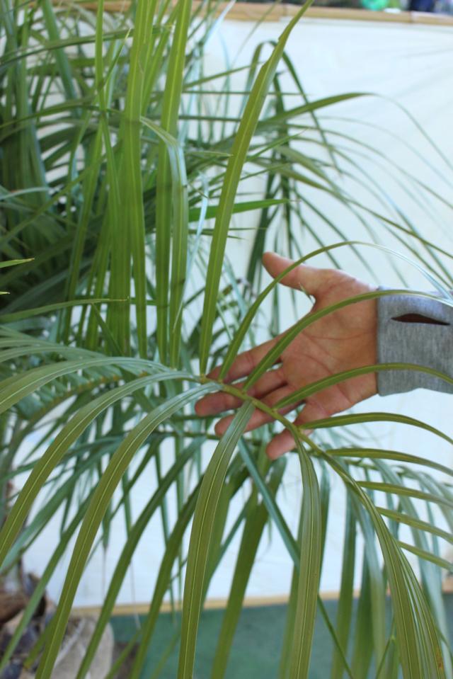 【植木市-102】 ソテツ 高さ約 0.8m 幅約 0.6m