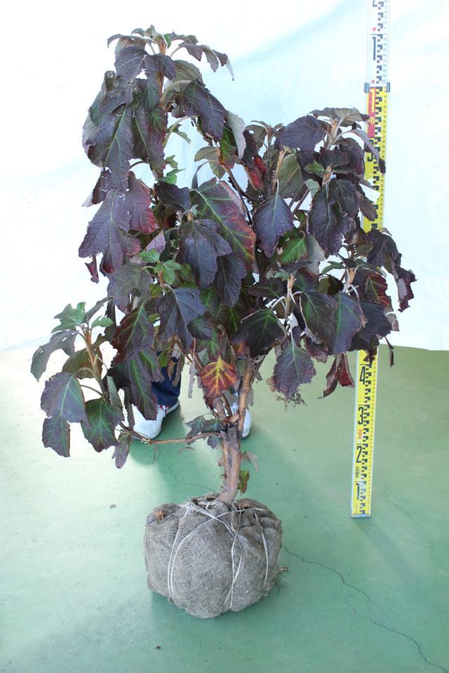 【植木市-106】 カシワバアジサイ スノークイーン 大株 高さ約 1.5m