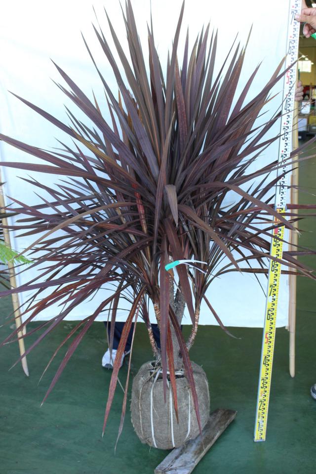 【植木市-107】 ドラセナ 赤葉 分頭 高さ約 1.5m 幅約 0.6m