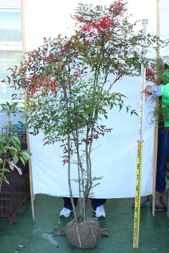 【植木市-110】 ナンテン 高さ約 2.0m