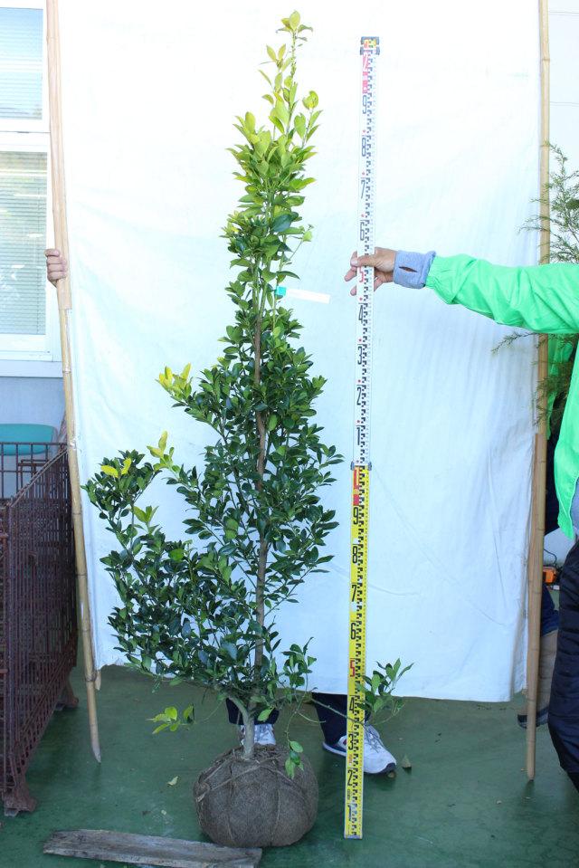 【植木市-112】 オウゴンモチノキ 高さ約 1.8m