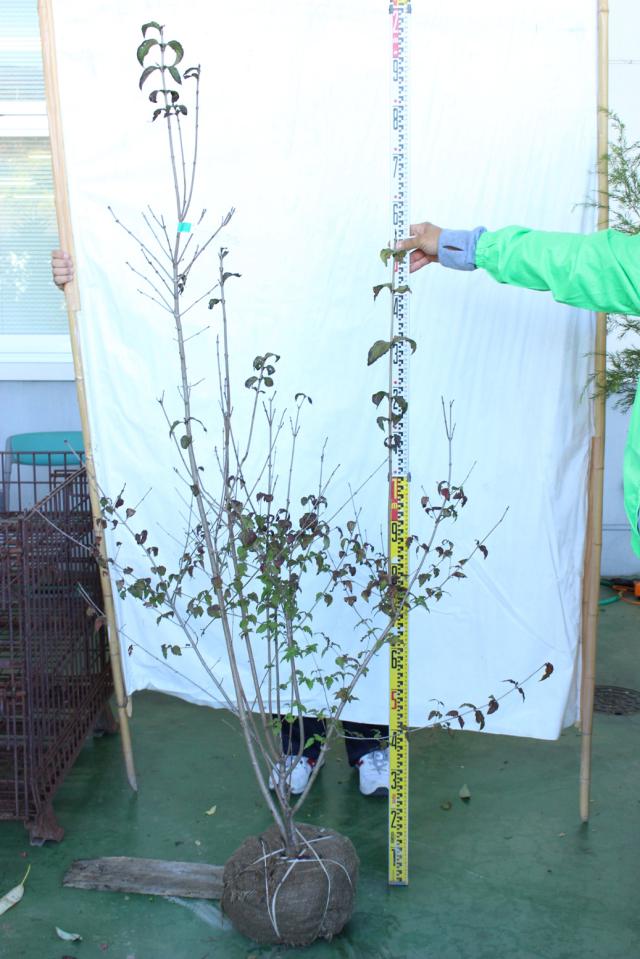 【植木市-113】 オトコヨウゾメ 株立 高さ約 1.5m