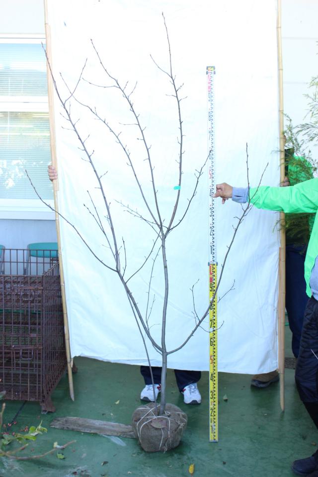 【植木市-114】 ジューンベリー ラマルキー 高さ約 2.0m