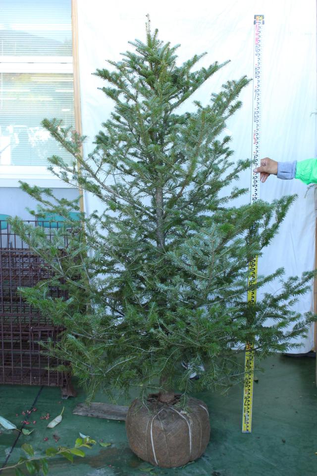 【植木市-115】 ウラジロモミ 高さ約 1.8m 幅約 1.2m