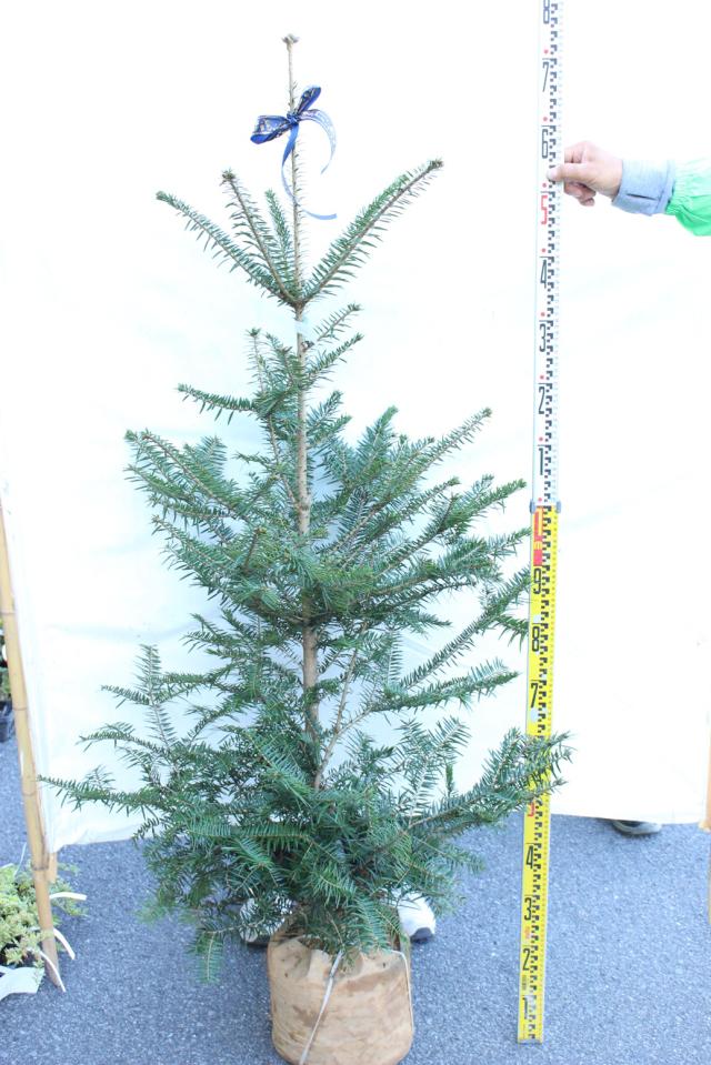 【植木市-117】 モミの木 高さ約 1.5m