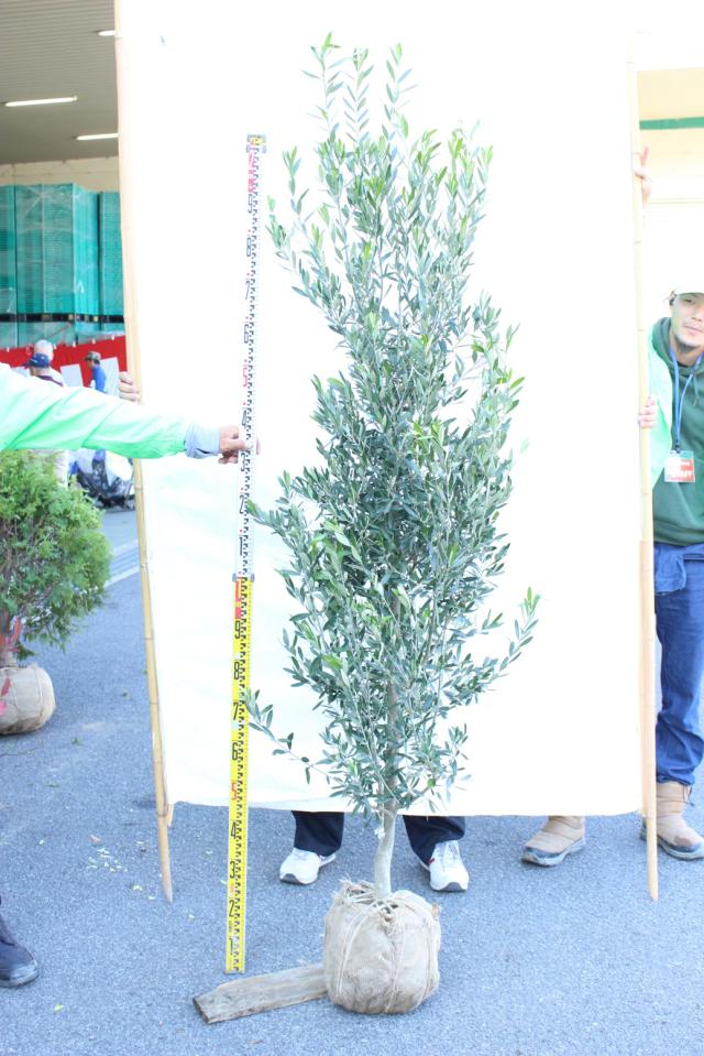 【植木市-119】 オリーブ シプレッチーノ 高さ約 2.0m