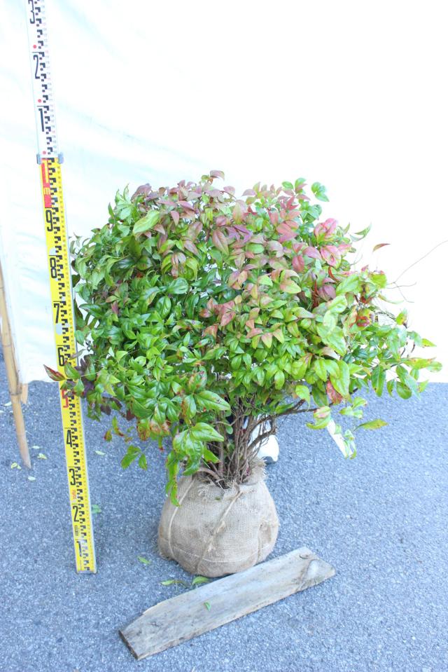 【植木市-120】 オタフクナンテン 大株 高さ約 0.8m