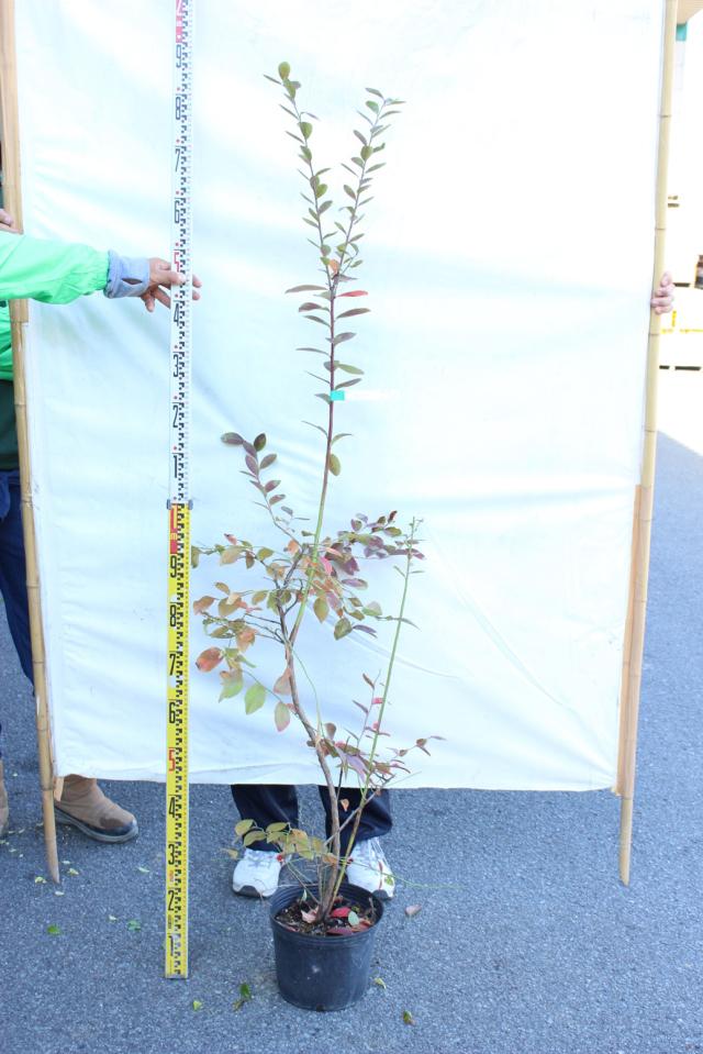 【植木市-121】 ブルーベリー 高さ約 1.5m