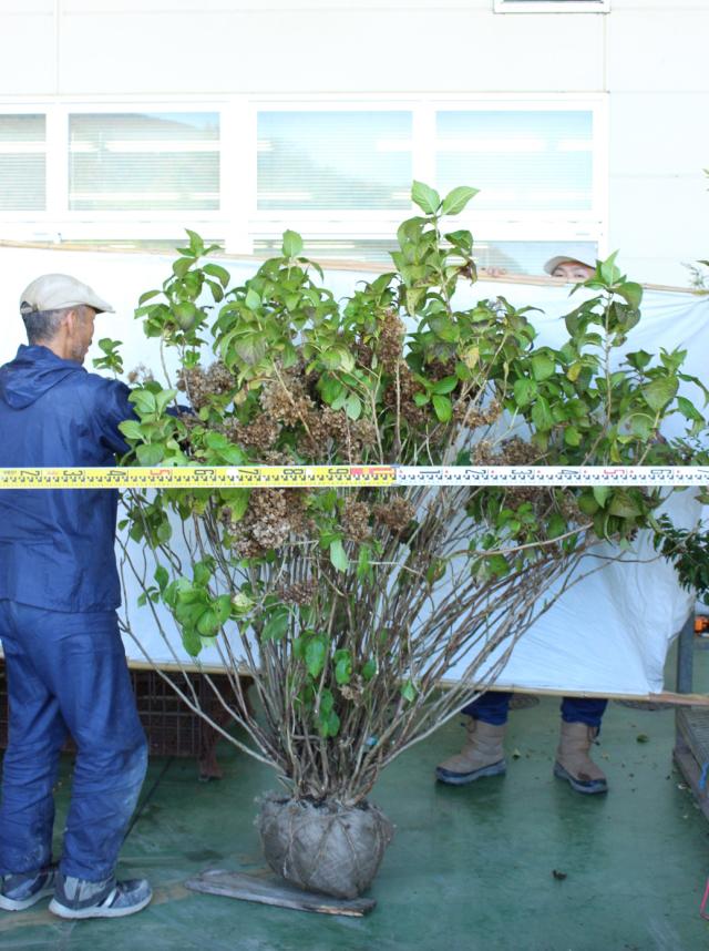 【植木市-123】 アジサイ 青花 超特大株 高さ約 1.8m 幅約 1.2m