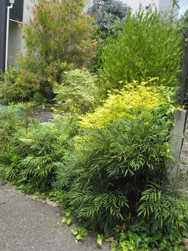 植栽例  プリペット レモン マホニアコンフーサ ヘデラ