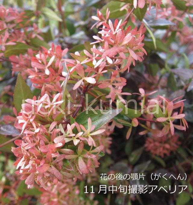 アベリア 白花 萼片