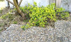 アベリア ホープレイズ 植栽例