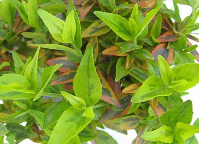 アベリア カレードスコープ 葉の様子