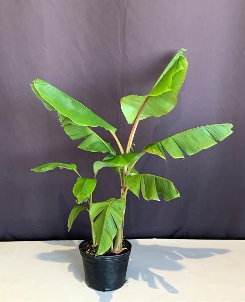 アケビバナナ 60cm