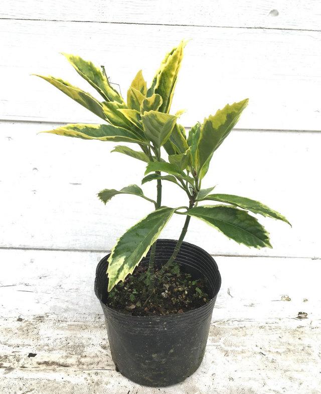 フイリアオキ 斑入り葉 サルフレア マルギナータ (斑入青木)
