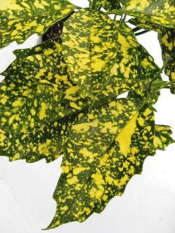 斑入りアオキ 葉の拡大画像