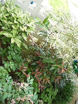 斑入りアオキ 植栽例