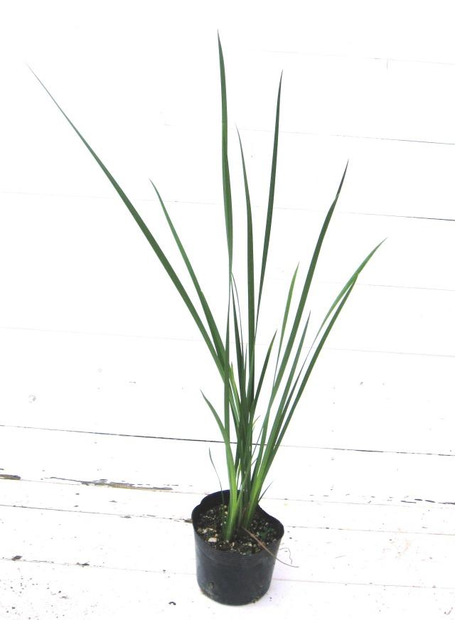 Bicolor iris ディエテス ビコロル 常緑 アヤメ 菖蒲