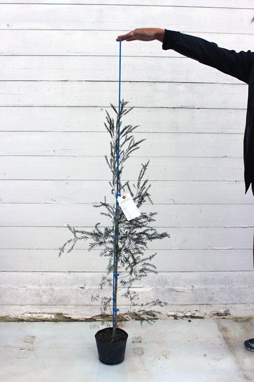 メラリュウカ ブラックティツリー