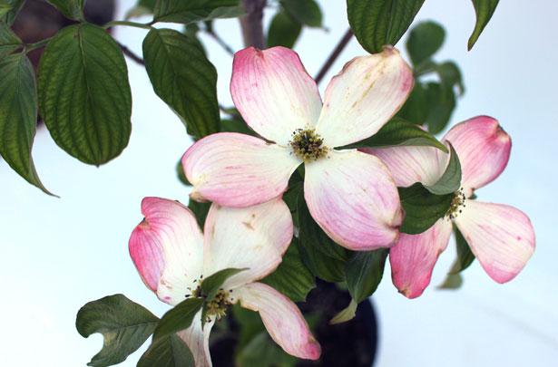 チェロキーチーフ 花の様子