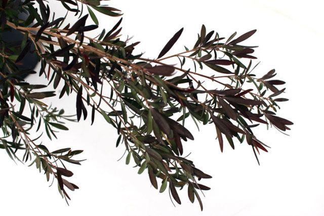 カッパーグロー 葉