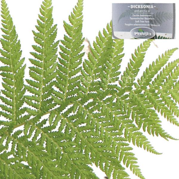ディクソニア アンタルクティカ(Dicksonia antarctica)