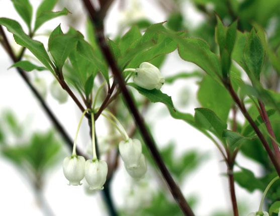 ドウダンツツジ 花