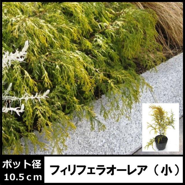 フィリフェラオーレア (小) 10.5cmポット入 (コニファー)