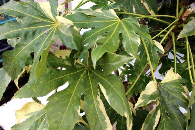 斑入りヤツデ 葉