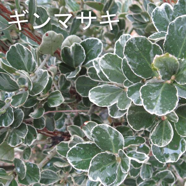 ギンマサキ 銀柾木