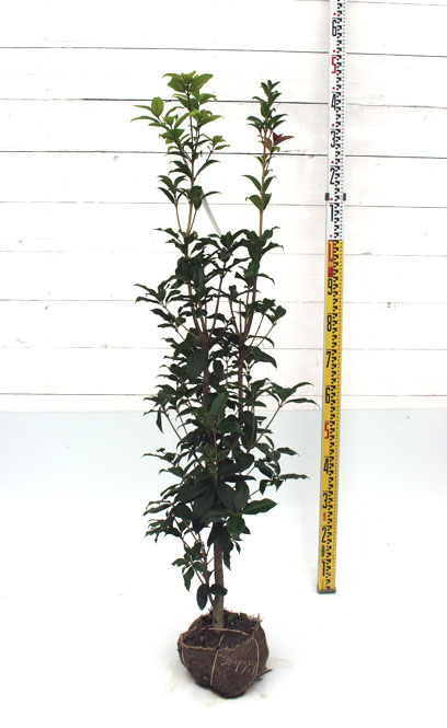 ギンモクセイ 1.2、m