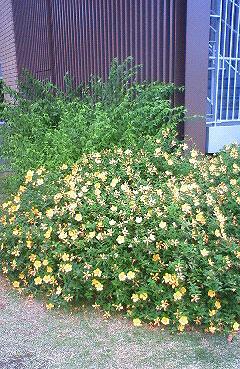 ヒペリカム ヒデコート 植栽例