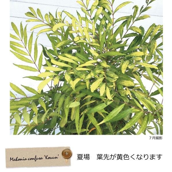 柊南天 マホニアコンフーサ 黄金葉品種 黄雲 コンフーサ (コウウン)