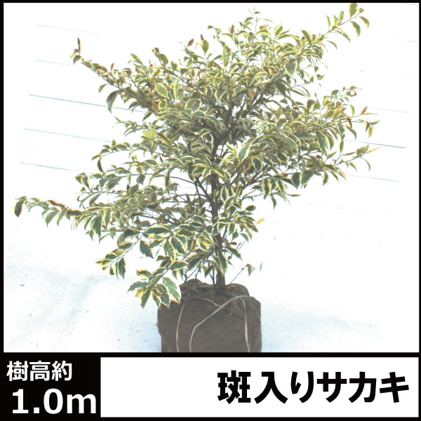 斑入り榊 フイリサカキ 大株