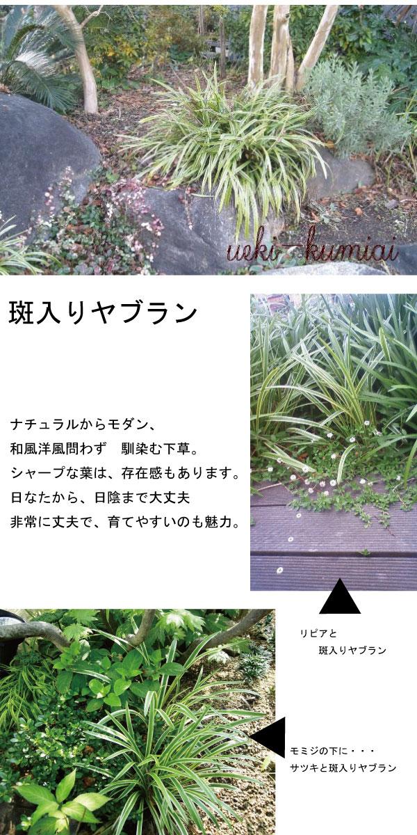 斑入りヤブラン 植栽例