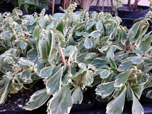フイリフッキソウ 斑入り 冬の葉の状態
