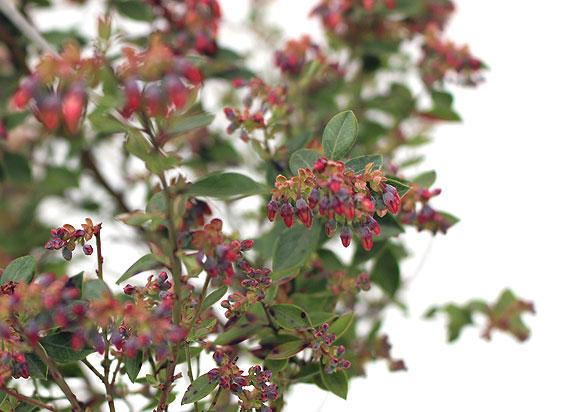 インディゴブルー 花