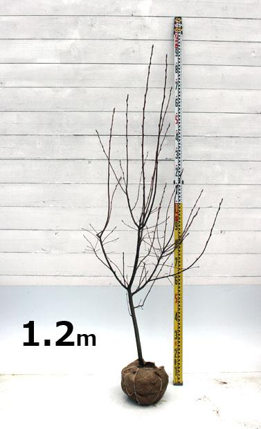 ジューンベリー ラマルキー 1.2m