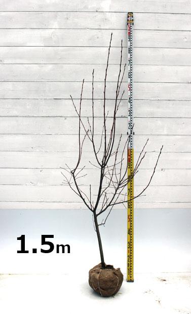 ジューンベリー ラマルキー 1.5m